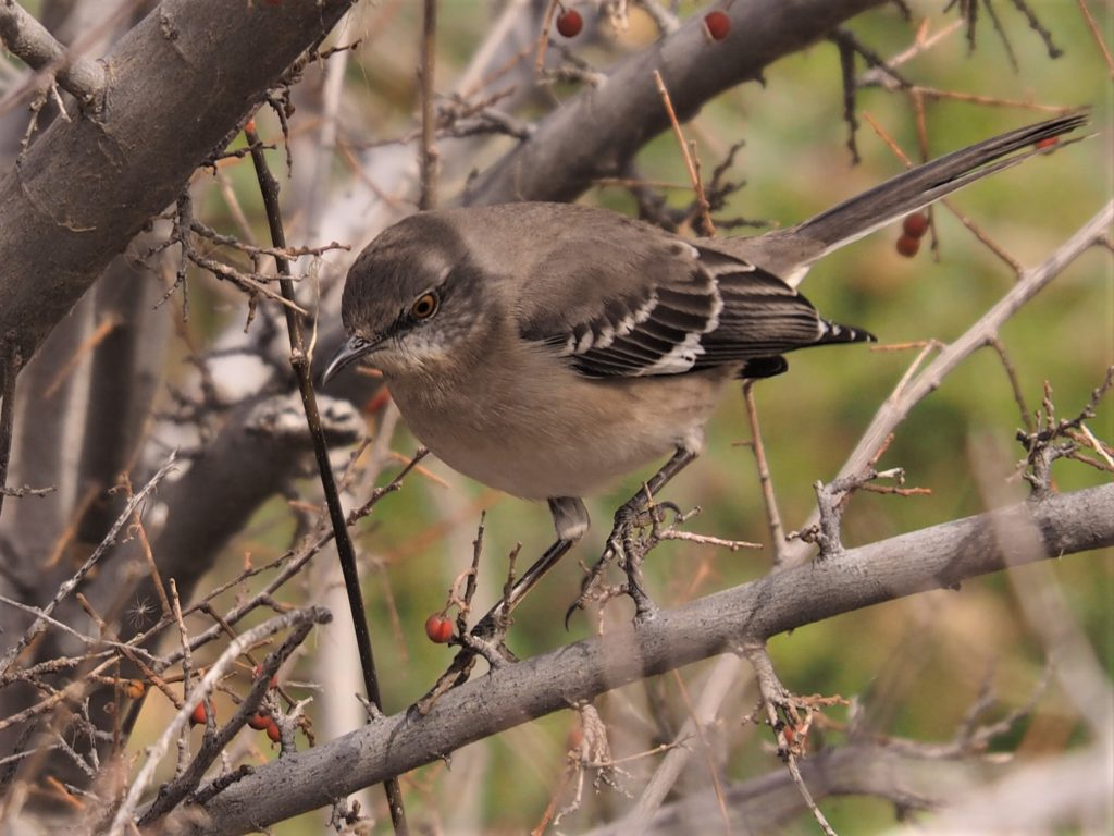 Fore view of northern mockingbird