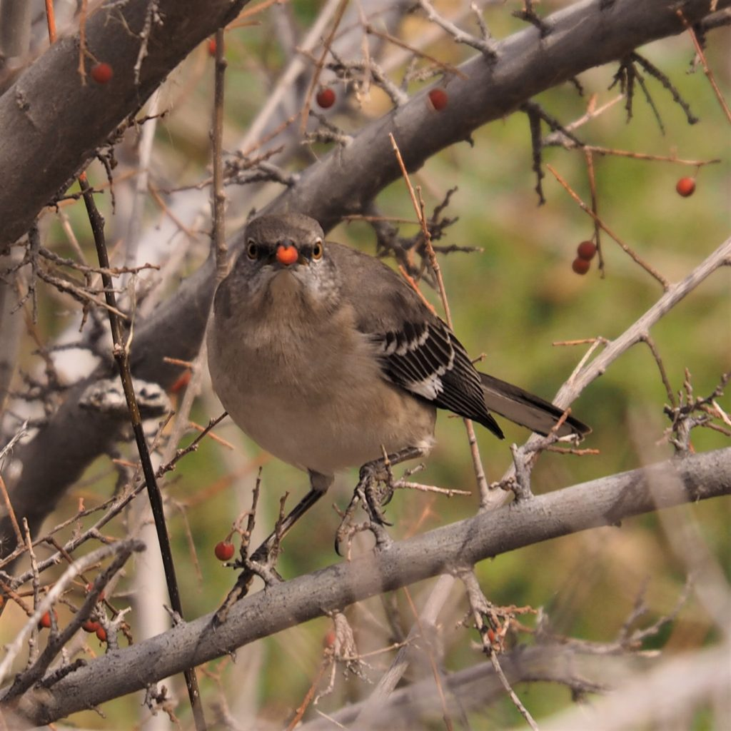 Straight-on view of northern mockingbird with berry in beak
