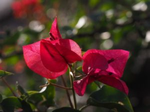 Close-up of red bracts of bougainvillea
