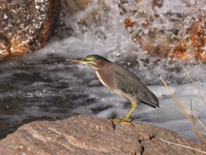 Green heron on rock beside small waterfall