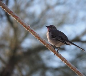 Northern mockingbird on guy wire.