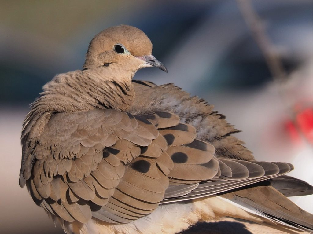 Close-up of mourning dove with head facing backwards.