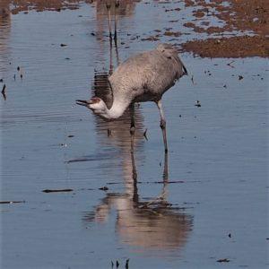 Sandhill crane drinking.