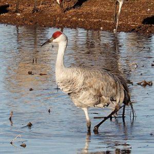 Lone sandhill crane standing in water