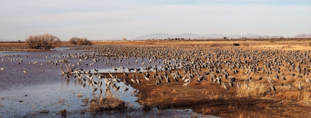 Flock of thousands of sandhill cranes