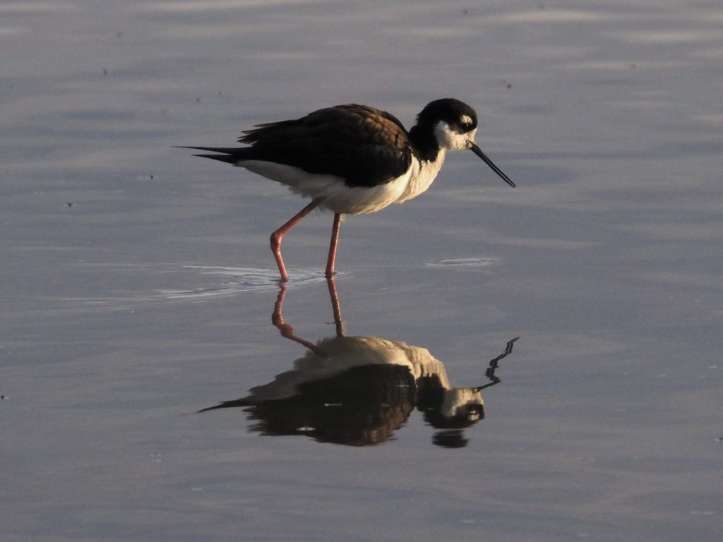 Black-necked stilt in early morning light