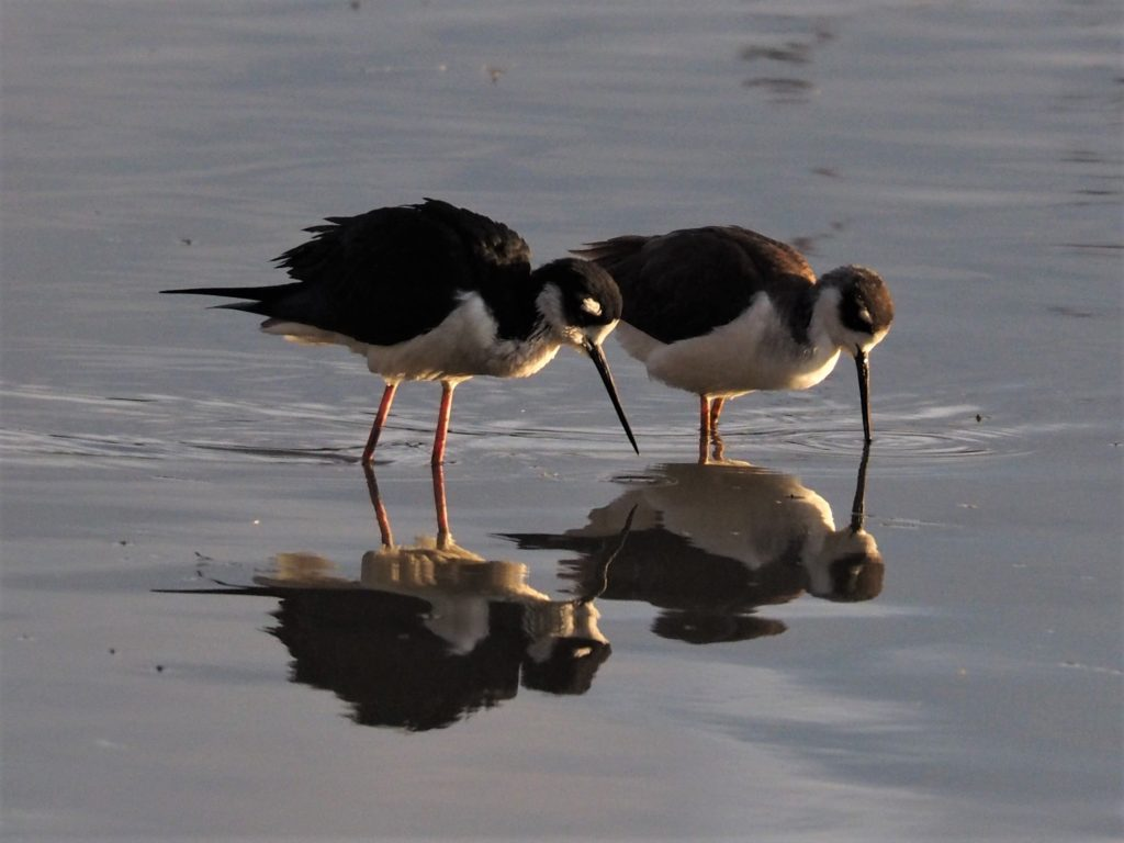 Two black-necked stilts reflected in water.