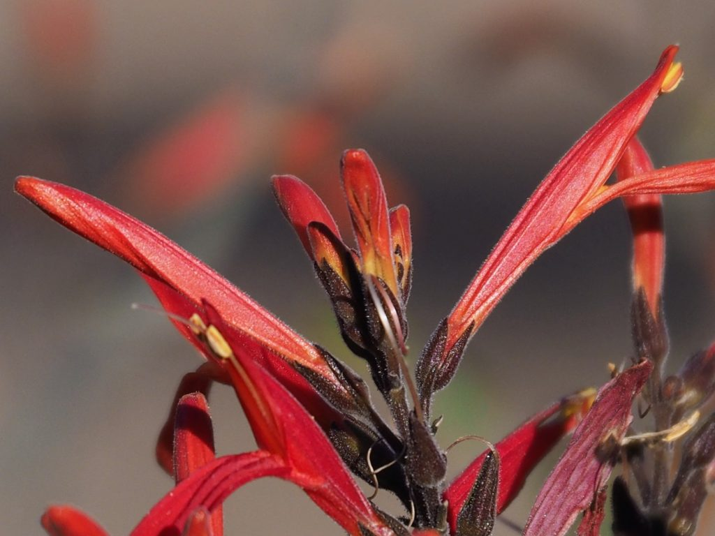 Close-up of red desert flower