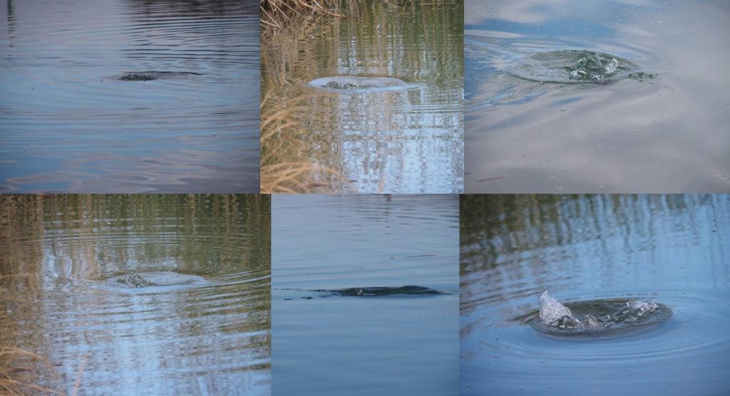 Montage of 6 photos of splashes from diving ducks