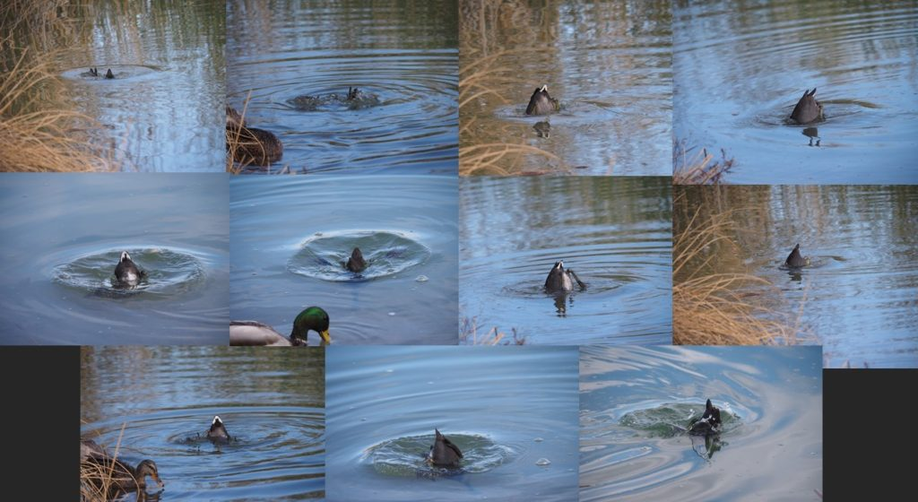 Montage of 11 photos of tail ends of diving ducks