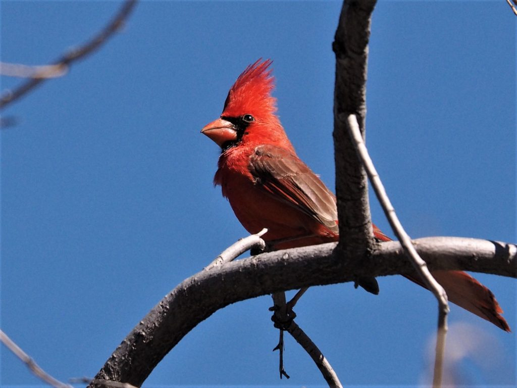 Intensely red male northern cardinal on bare branch, against blue sky.