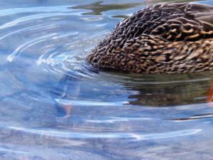 Female mallard with head under water