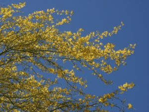 Yellow flowers on branches of palo verde against blue sky.