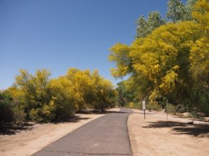 Flowering palo verde trees flanking walkway.