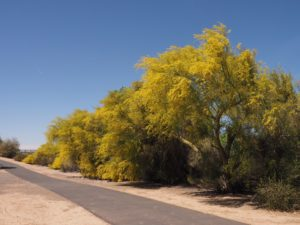 Row of palo verde trees in bloom