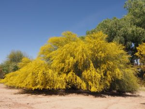 Shrubby palo verde in full bloom.