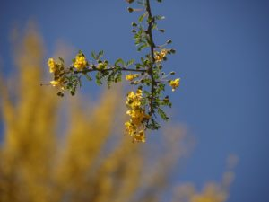 Close-up of palo verde flowers with tree in full bloom blurred in background.