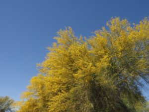 Blooming palo verde against blue sky.