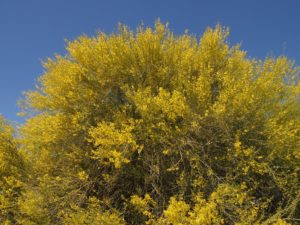 Full-frame shot of shrubby palo verde in full bloom
