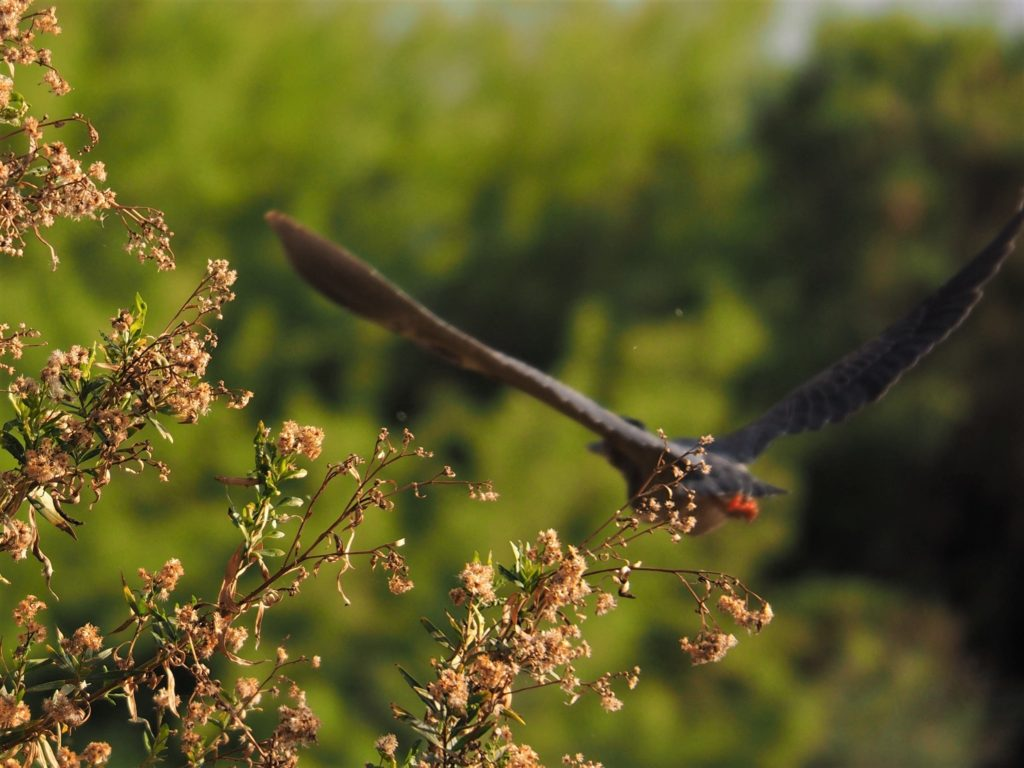 Blurry photo of green heron in flight