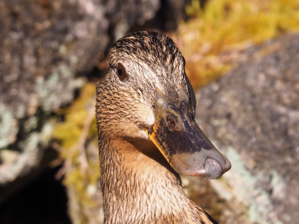 Duck in close-up, looking askance at photographer.
