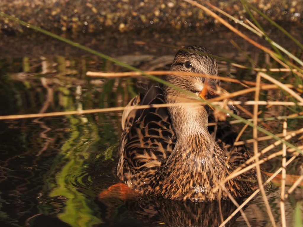 Duck peeking out between reeds.