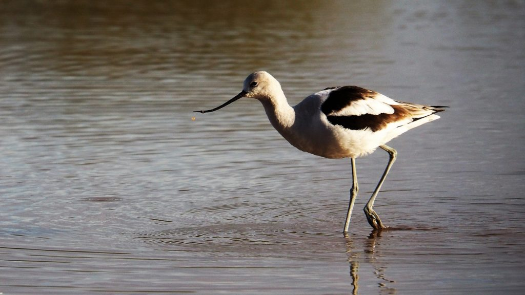 Female avocet wading through pond.