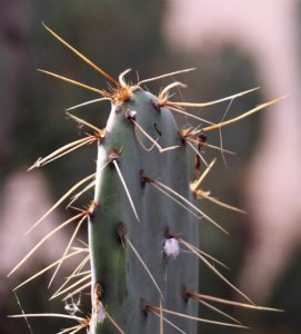 Single blade of prickly pear with thorns
