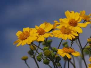 Bright yellow daisy-like flowers against bright-blue sky.