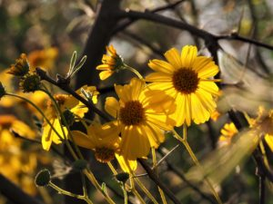 Yellow daisy-like flower in shade of tree