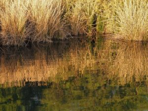 Yellow grass reflected in water