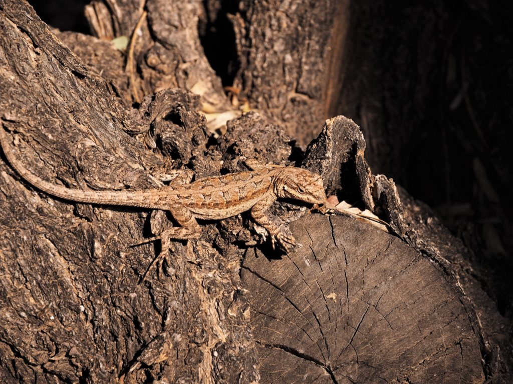 Brown gecko camouflaged against rugged tree bark.