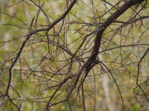 Bare branch with new green leaves in background
