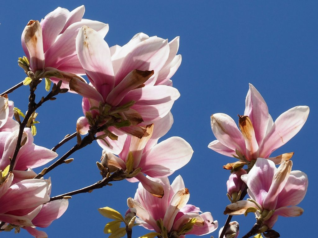 Multiple magnolia blossoms shot against blue-sky background.