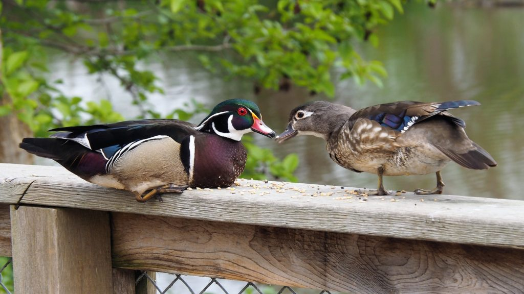 Male and female wood ducks, beak to beak.