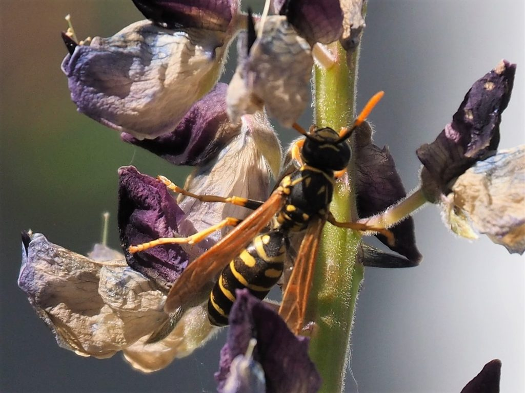 Wasp tangled up with stalk of lupin
