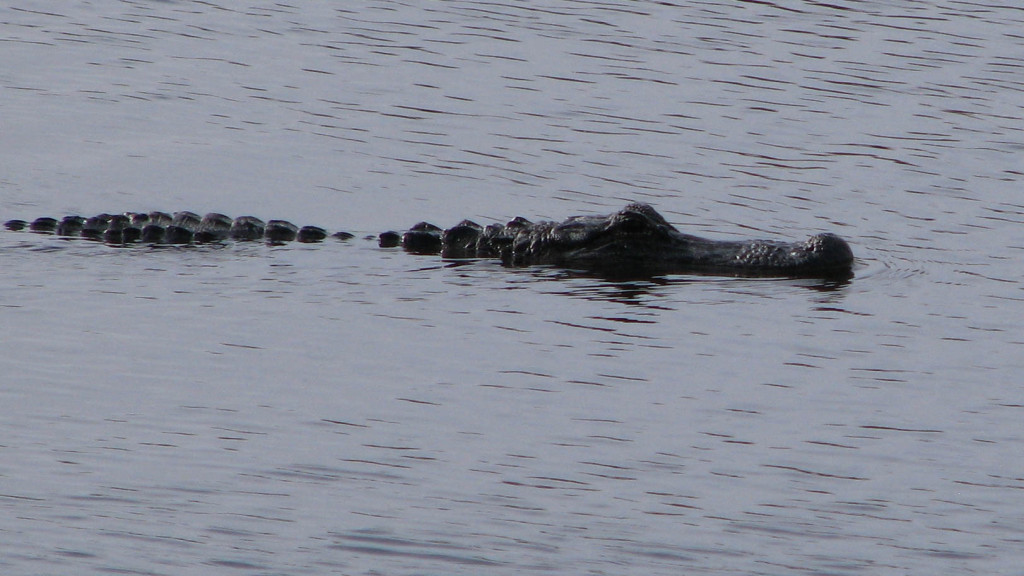 Alligator snout rising above water level in pond at St. Marks NWR