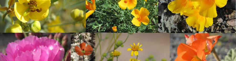Photos of yellow, orange and pink spring wildflowers in Phoenix, AZ