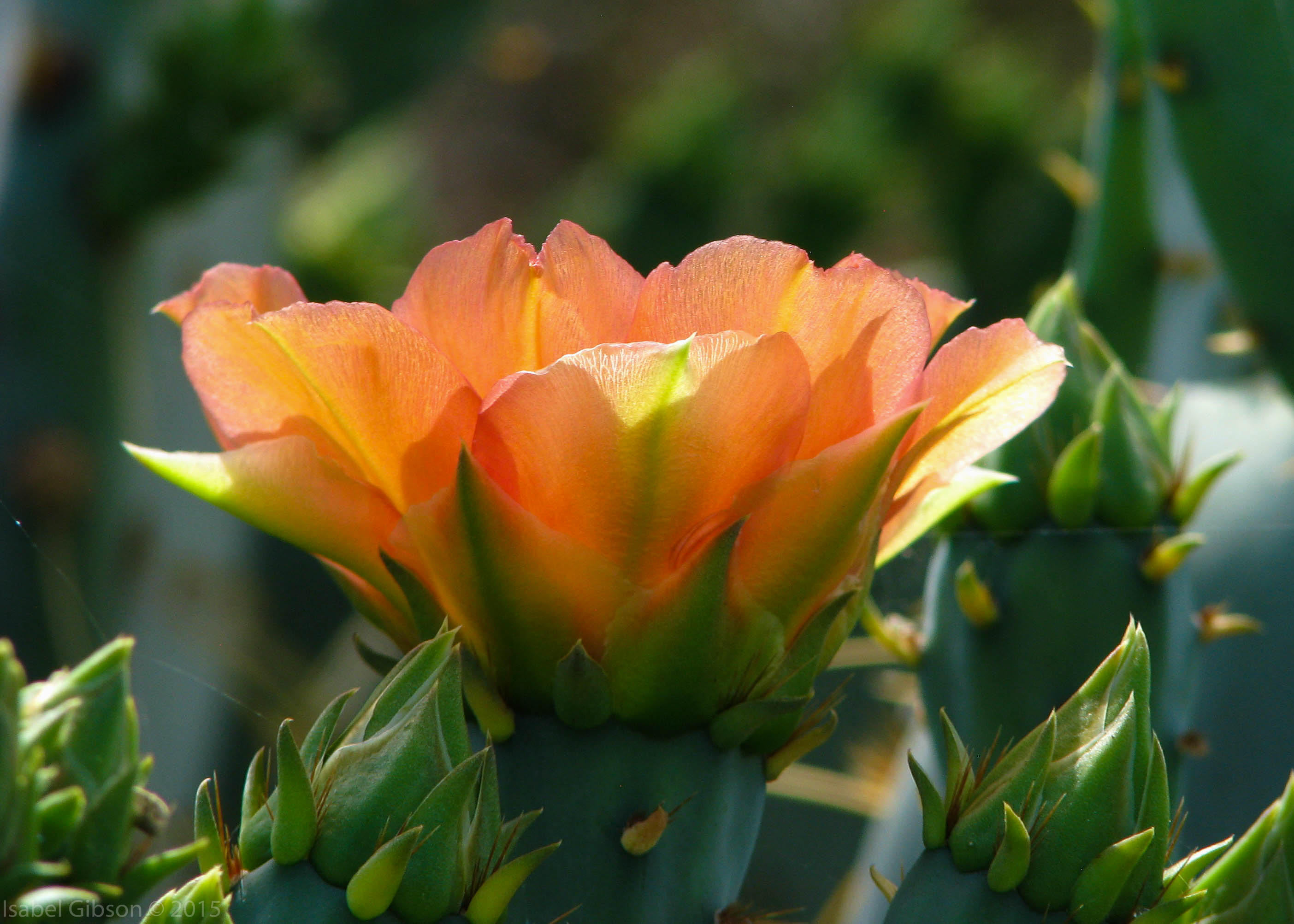 Close-up of light-orange blossom of prickly pear cactus.