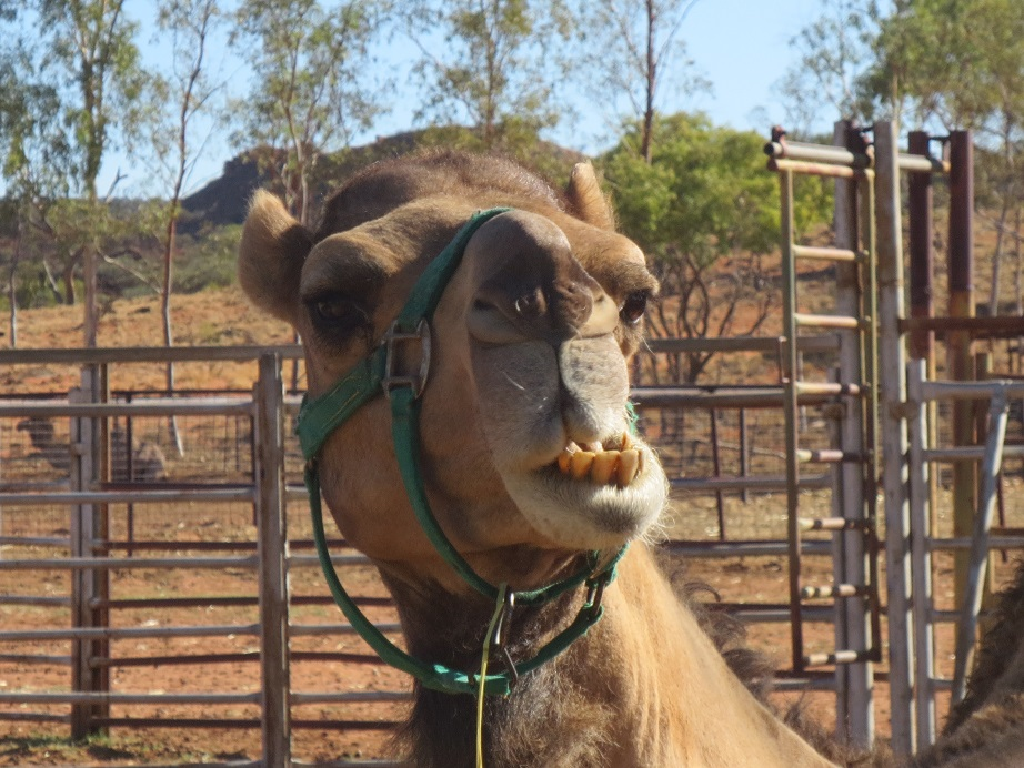 Camel, Near-ish to Uluru