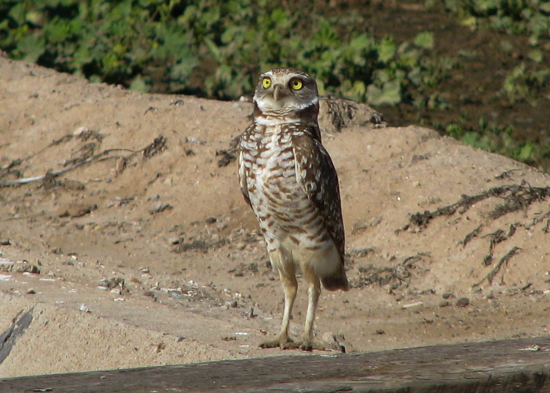 Burrowing Owl, Gilbert AZ