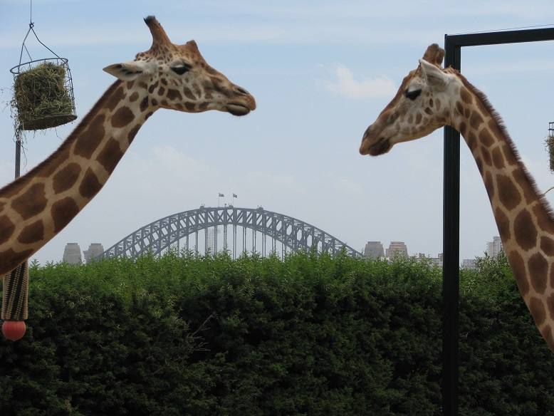 Harbour Bridge in distance, framed by two giraffes facing each other.