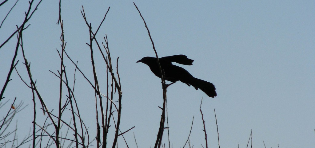 Crow on bare branches, silhouetted; one wing raised for balance.