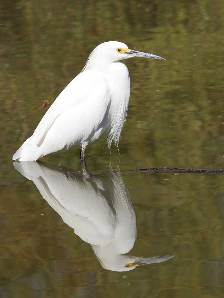 Snowy egret reflected in water.