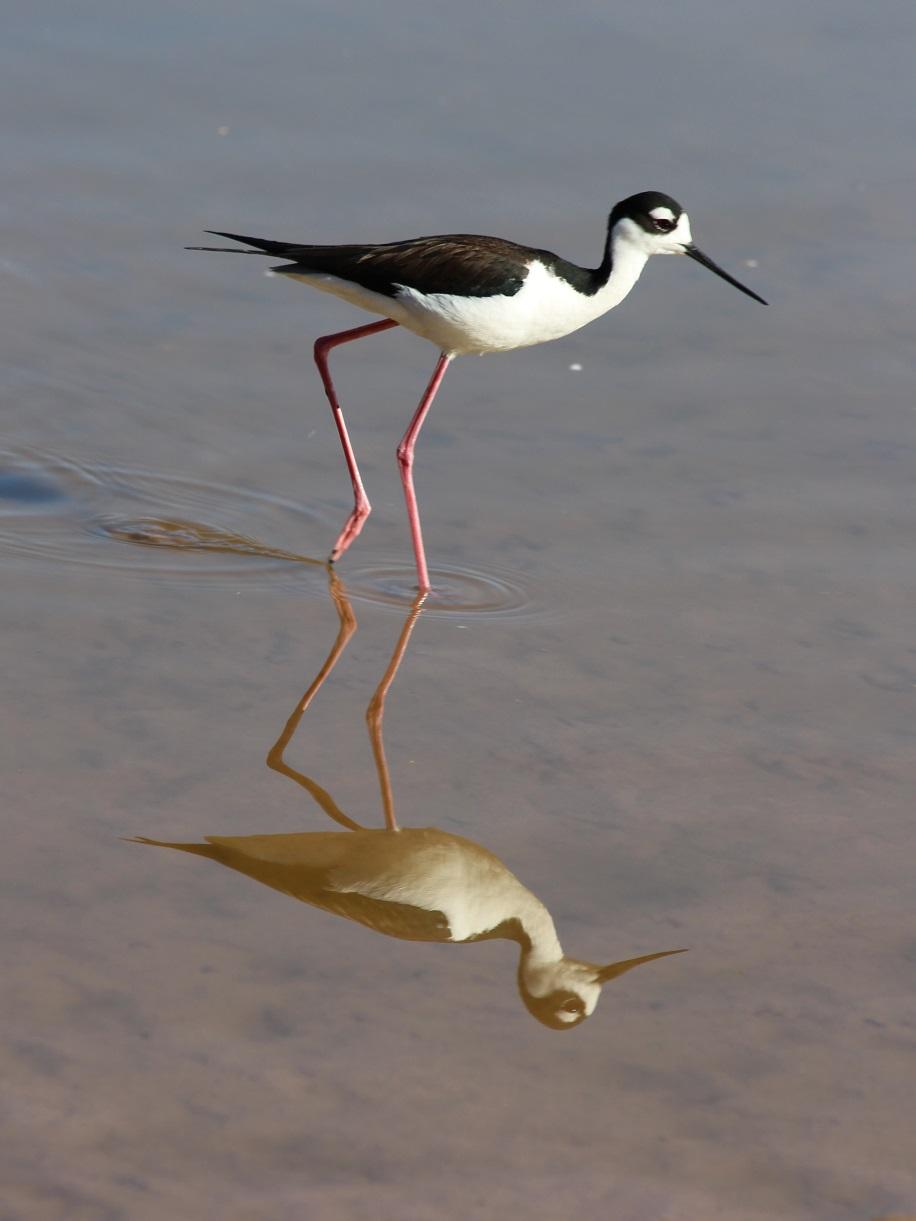 Black-necked stilt reflected in shallow, still water.