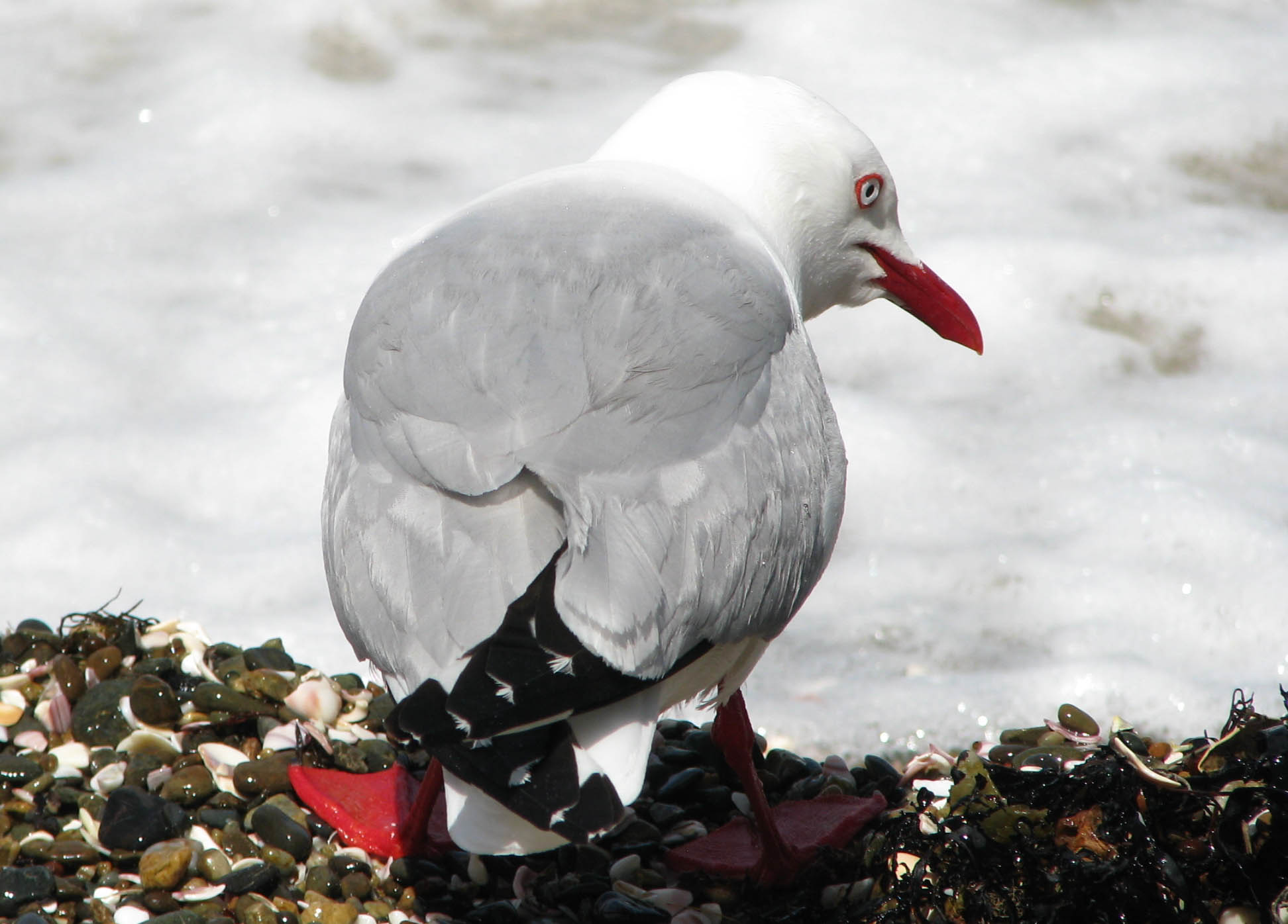 Red-billed Gull, Tiritiri Matangi