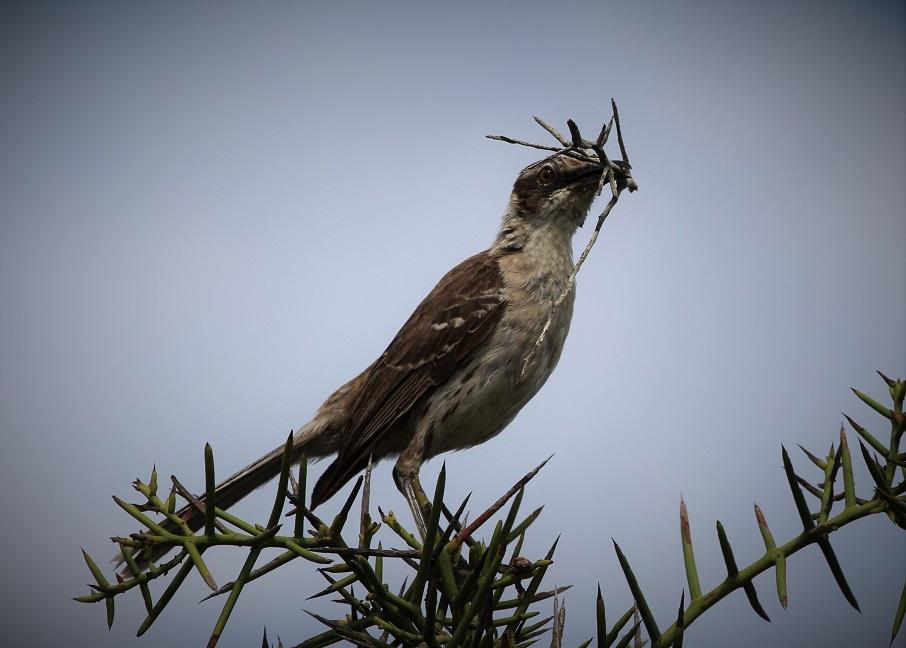 Mockingbird, Galapagos