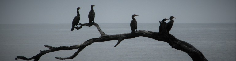 Silhouette of 5 cormorants on branch against grey sea.