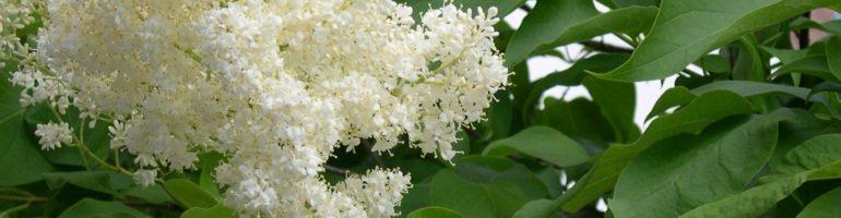 Close-up of white lilac florets.
