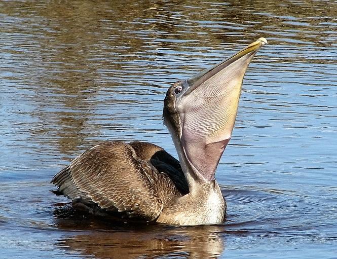 Brown Pelican, Huntington Beach State Park SC